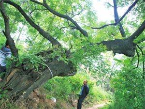 那一棵棵千年传奇:我省最多的古树是国槐
