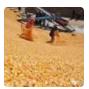"""农业技术:春节后,玉米价格先""""跌"""""""
