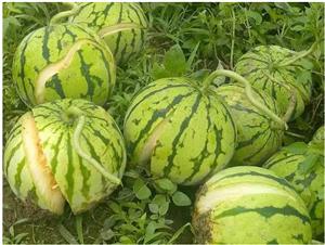 农业技术:作物裂果全解