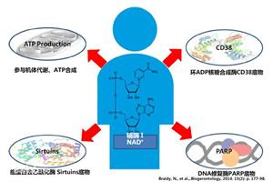 NMN中国:带您一起解读长寿药NMN