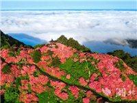 麻城杜鹃花盛开,五年一遇的花海+十年一遇的云海