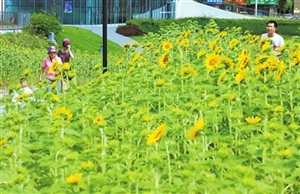 香山湖公园向日葵花海正向你招手 总共7300株近400平方米,预计近期可以全部绽放