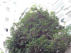 出售桂花樹一棵。 價格面議。
