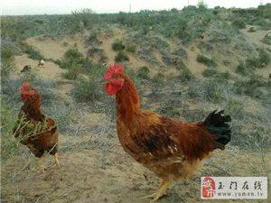 野生沙漠放养土鸡特卖