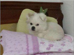 找找我家丟失的白色京巴狗