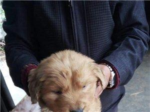 出售金毛幼犬
