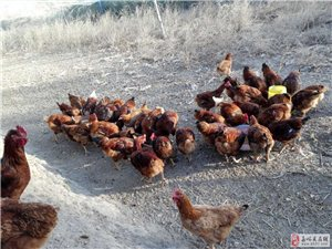 黑枸杞散养鸡,纯正土鸡