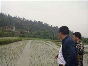 天然無公害大米(稻谷)出售