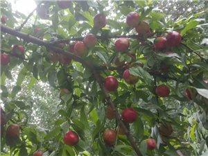 盛果期果樹處理