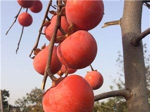 韓城市最新品種火葫蘆,柿子樹苗,哪里有批發