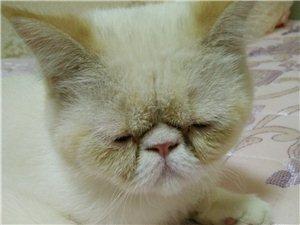 个人加菲猫低价转让