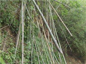 竹子苗木專供