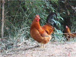 卖家养的周年阉鸡