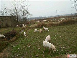 毛羊现杀14元一斤。