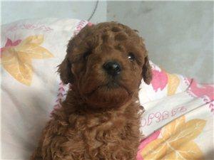 1月��月泰迪狗