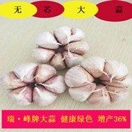 金乡大蒜价格,无芯蒜,增产36%