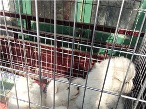 出售純種薩摩耶幼犬