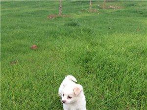 免費贈送一只白色小型混血狗愿有愛心的人收養