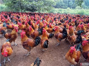小型养殖场对外批发皇冠娱乐网址鸡,量大从优。
