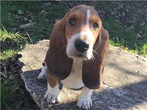 尋狗品種:巴吉度獵犬