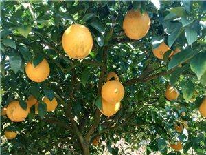 1万多斤脐橙出售