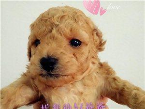 家养萌宠新生泰迪寻爸妈1500元/只(公)