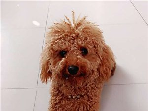棕色泰迪丢失—希望你能放它回家!