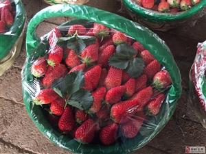 中心草莓采摘