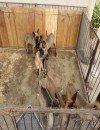 建水出售马犬,纯正血统