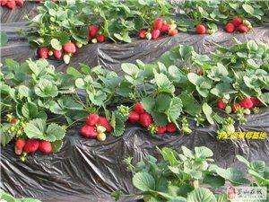 周末阳光明媚,我们一起摘草莓去!
