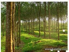 100畝橡膠林轉讓