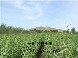 大量出售垂榆、垂柳、糖槭、榆葉梅等各種米徑的種苗