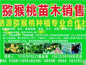 供应适合寻乌气候、土壤种植的金艳、金桃等红心、黄心猕猴桃苗木