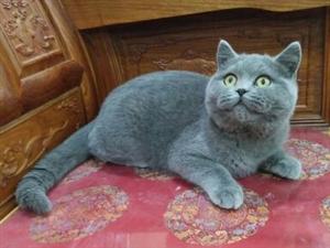 出售自家繁殖蓝猫