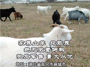 家养山羊出售