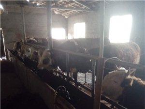 仁怀市长岗镇出售牛