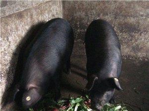 长阳彭女士出售老品种年猪两头!