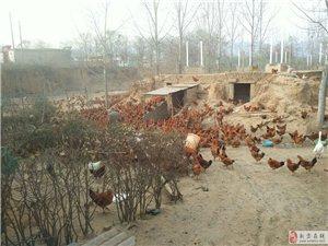 新密市正宗土鸡蛋出售,纯天然无污染营养好。