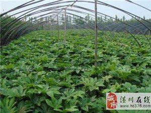 潢川苗木價格八角金盤、茶花、地被月季、劍麻、迎春花