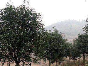 大量金桂花树出售