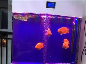 出售 亚克力鱼缸一个 包含鱼