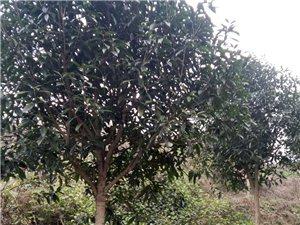 金桂花樹(直徑4-7cm)出售