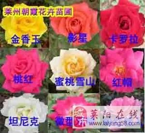 批量出售盆栽月季,银杏树苗,国槐苗,柿树