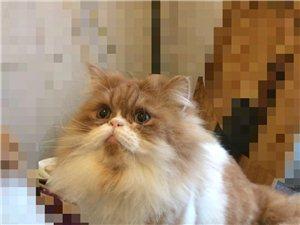 可愛長毛貓找爸爸媽媽