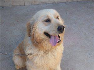 招远8个月纯种金毛(公),寻爱狗人士收养