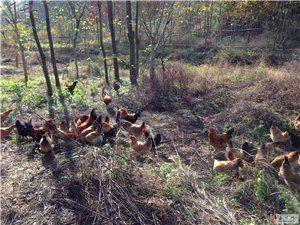 上溪村向榮農場銷售林下散養土雞蛋