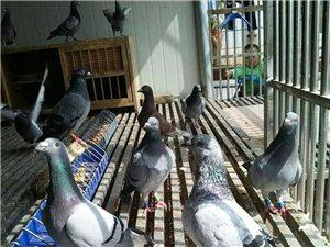 肉鴿、信鴿、鴿蛋