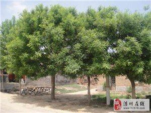 潢川苗木报价枫杨、苦楝、西府海棠、垂柳柳杉、马褂木
