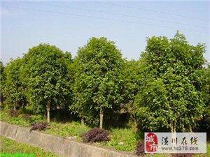 潢川花木售价龙爪槐、丛生三角枫红叶李、金枝槐复叶槭