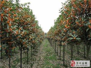 潢川花木价格美人梅、四季桂花、百日红、白梅、梅花树